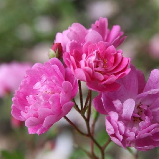 Gyalu - Polianta rózsa