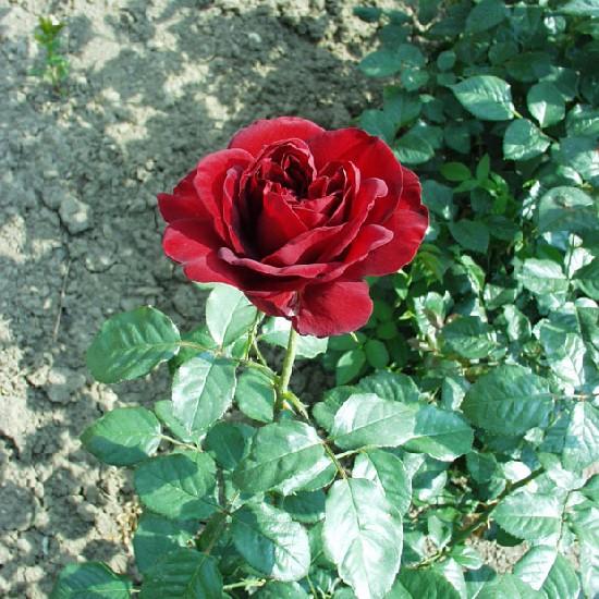 Gyímes - Teahibrid rózsa