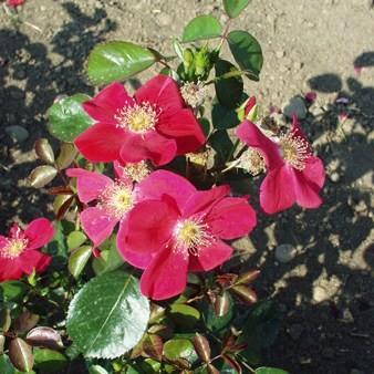 Győr - Floribunda rózsa