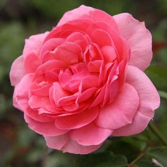 Hajnácska - Floribunda rózsa