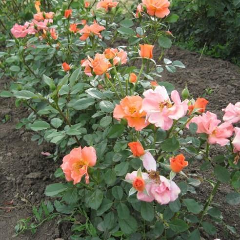 Hertelendyfalva - Floribunda rózsa