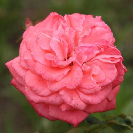 Hont - Floribunda rózsa