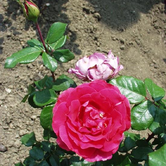Hunyadi János emléke - Teahibrid rózsa