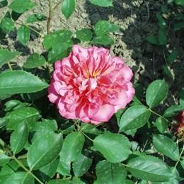 Ildikó - Floribunda rózsa