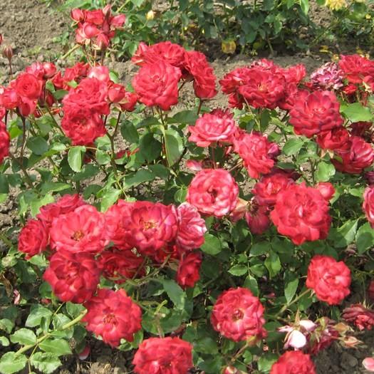 Irinyi János emléke - Polianta rózsa