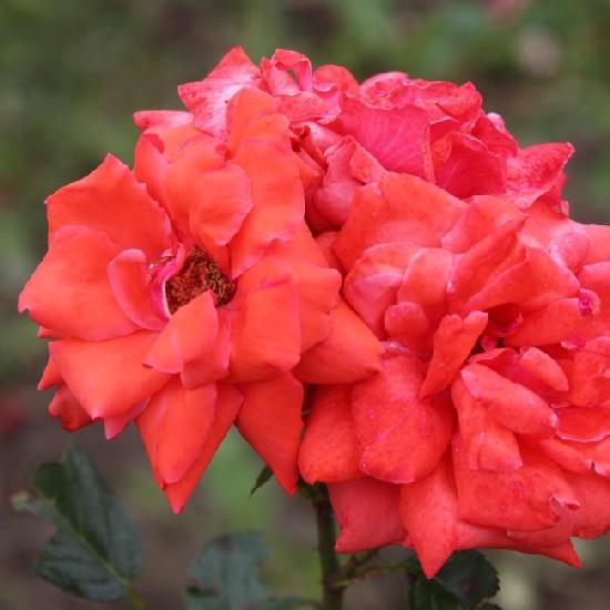 Jász-Nagykun-Szolnok - Floribunda rózsa