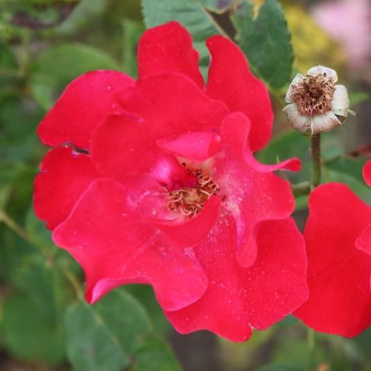 József Attila emléke - Floribunda rózsa
