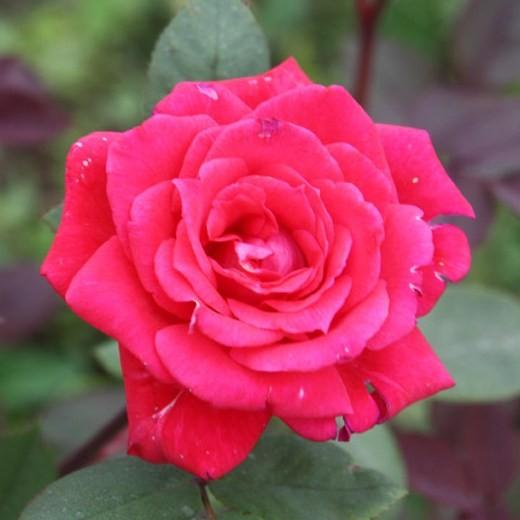 Juhász Gyula emléke - Polianta rózsa