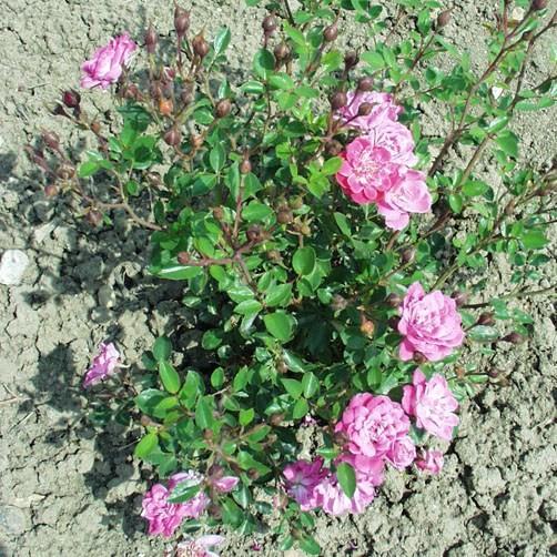 Kaffka Margit emléke - Polianta rózsa