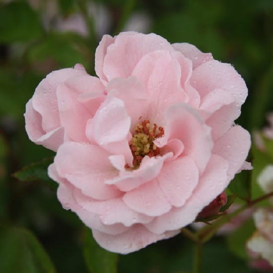 Kálmán Imre emléke - Floribunda rózsa