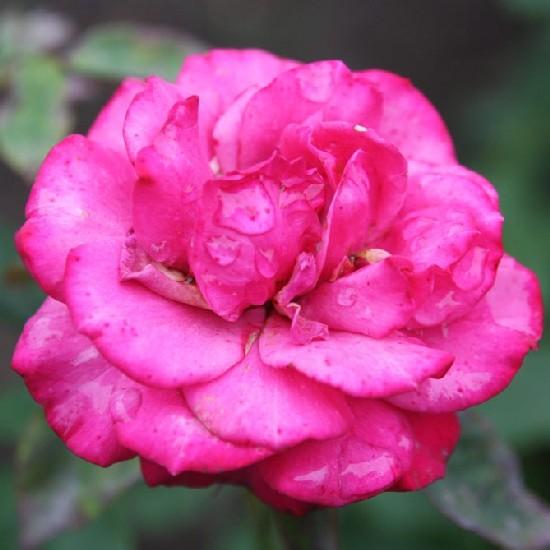 Kanizsai Dorottya emléke - Floribunda rózsa