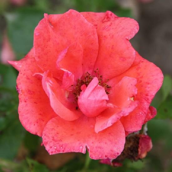 Kapisztrán Szent János - Floribunda rózsa