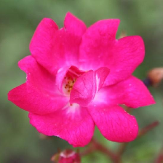 Kászon - Polianta rózsa