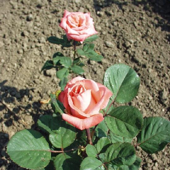 Kemény János emléke - Floribunda rózsa
