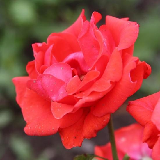 Komárom - Floribunda rózsa