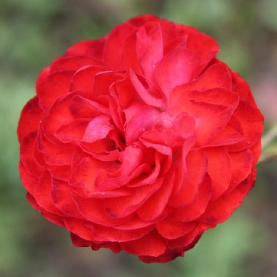 Küküllő - Polianta rózsa