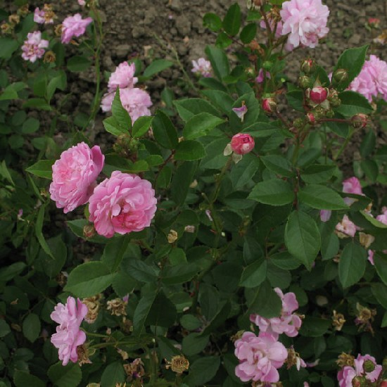 Kuncz Aladár emléke - Polianta rózsa