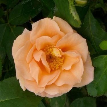 Kürtgyarmat - Floribunda rózsa