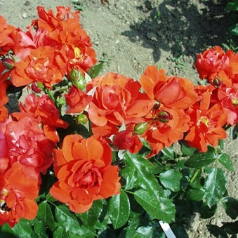 Lágymányos - Floribunda rózsa