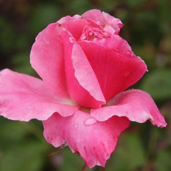 Lajtha László emléke - Teahibrid rózsa