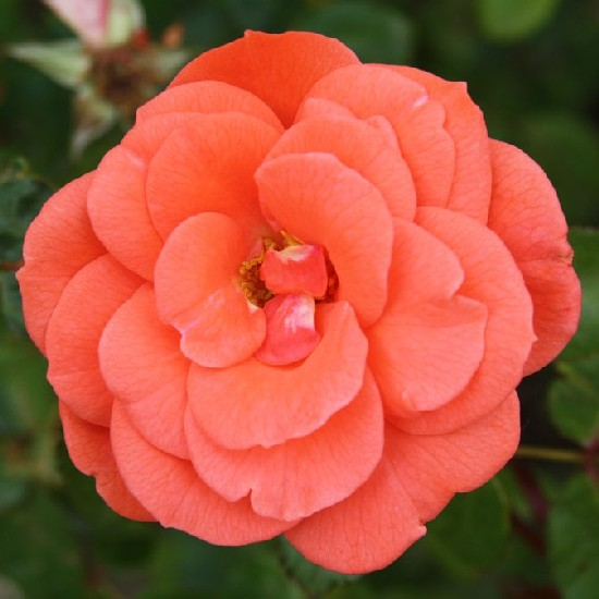 Lavotta János emléke - Floribunda rózsa