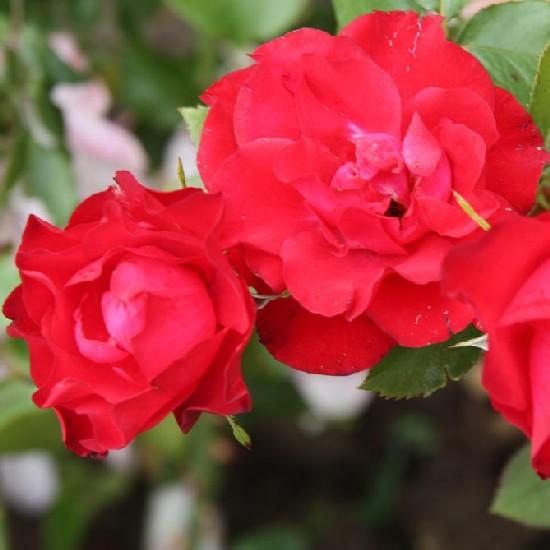 Léda emléke - Floribunda rózsa