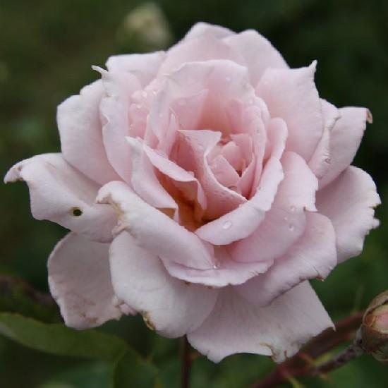Lilla - Teahibrid rózsa