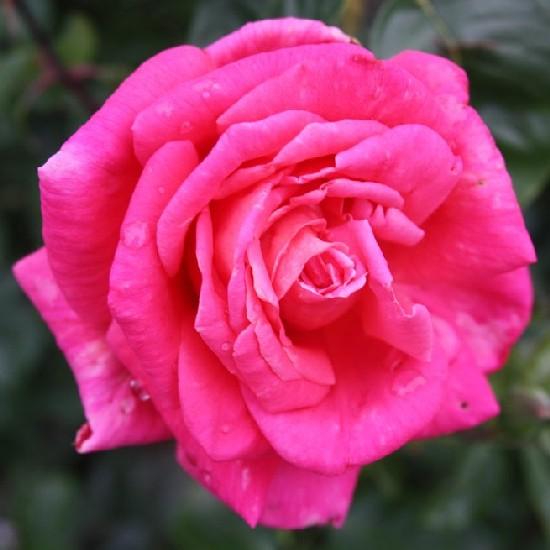 Liszka Jenő emléke - Teahibrid rózsa