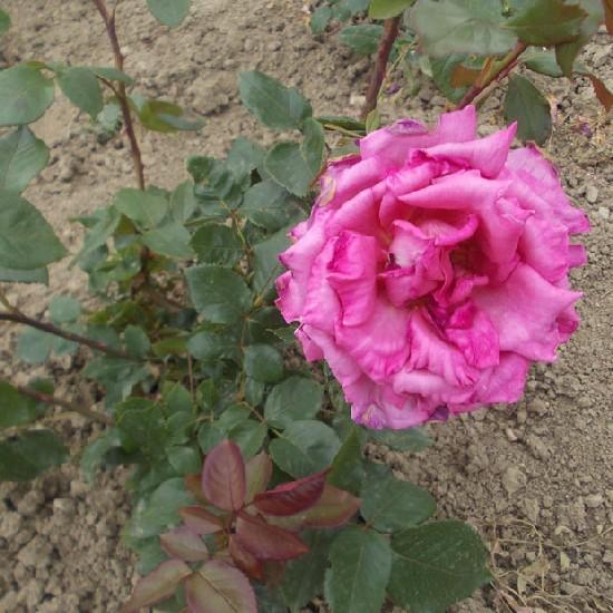 Mamu - Teahibrid rózsa