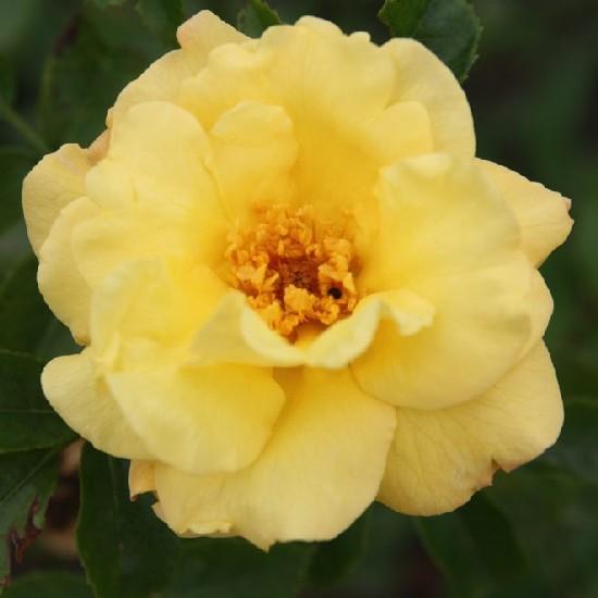 Mándy György emléke - Floribunda rózsa