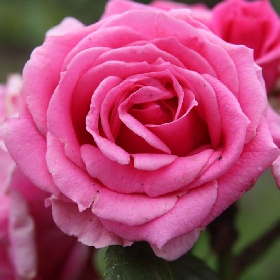 Max Holder - Floribunda rózsa