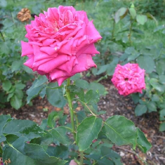 Mechwart András emléke - Floribunda rózsa