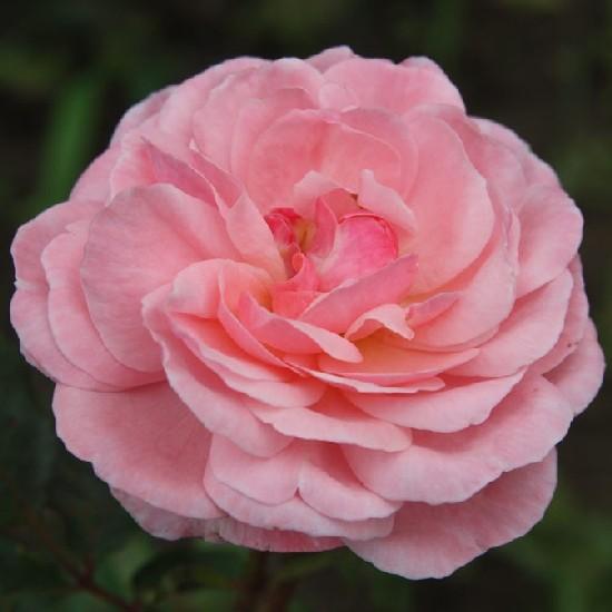 Megyer - Floribunda rózsa