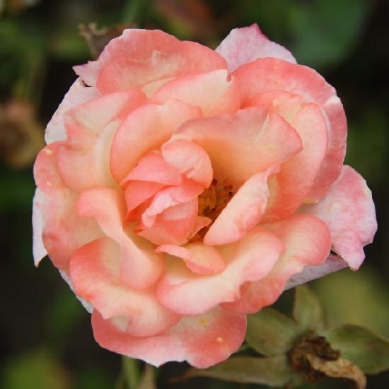 Mikszáth Kálmán emléke - Polianta rózsa