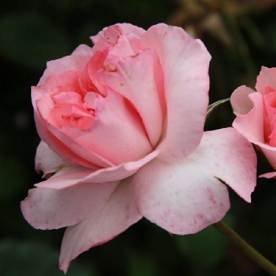 Millecentenárium '96 - Floribunda rózsa