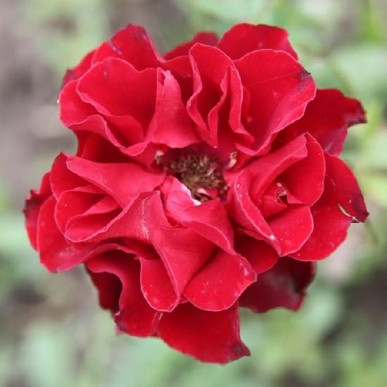 Muhi - Miniatűr rózsa