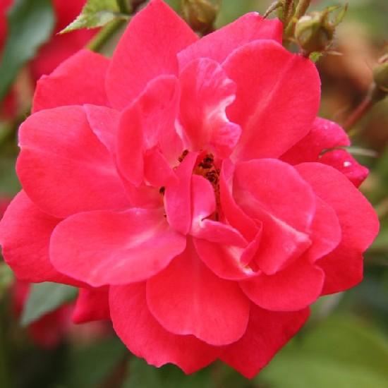 Nagybánya - Polianta rózsa
