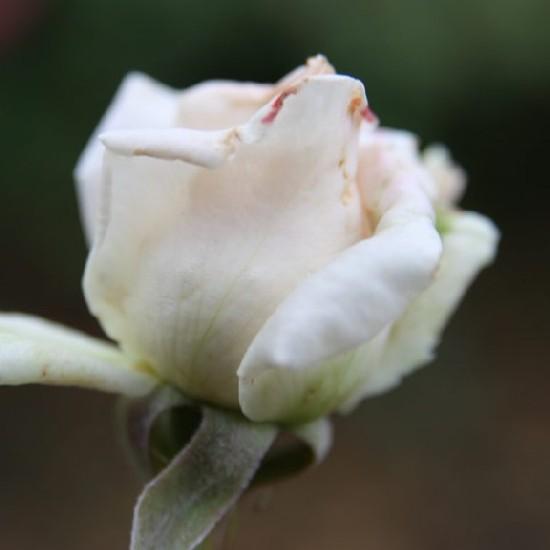 Nagyenyed - Floribunda rózsa
