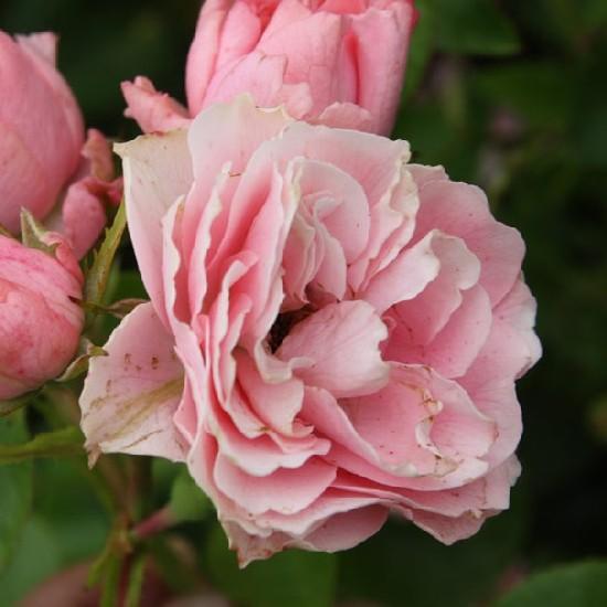 Nagyhagymás - Floribunda rózsa