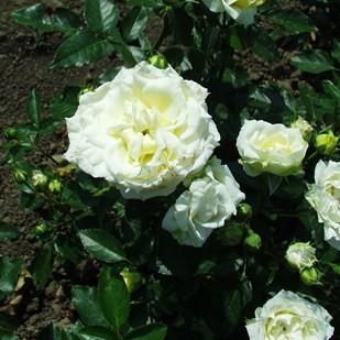 Nagykőhavas - Floribunda rózsa