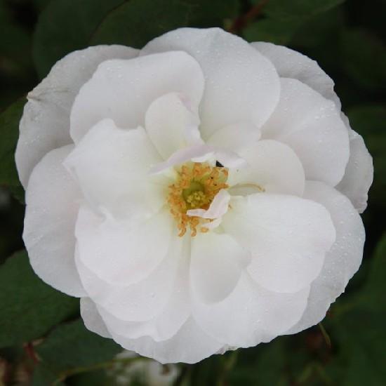 Nagyszeben - Floribunda rózsa
