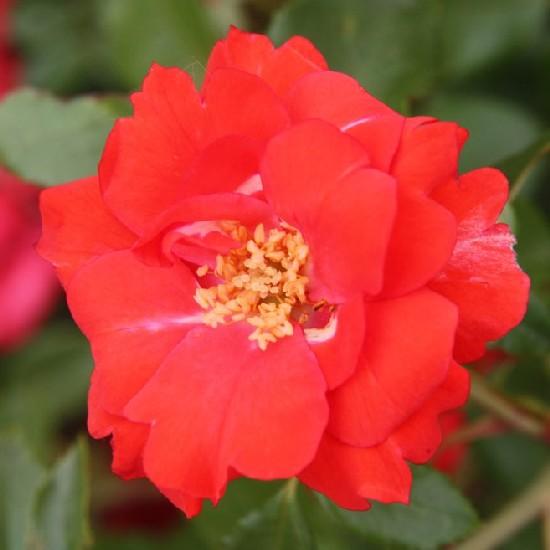 Nagyvárad - Polianta rózsa
