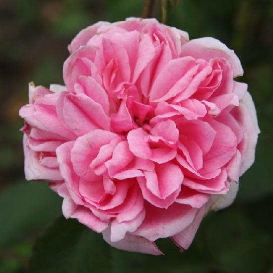 Nagyvázsony - Floribunda rózsa