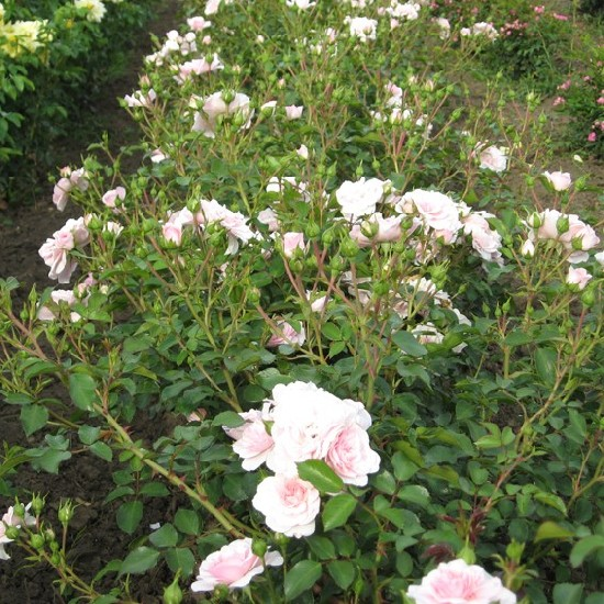Noémi - Floribunda rózsa