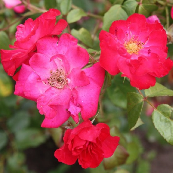 Nógrád - Floribunda rózsa