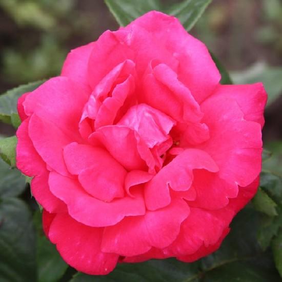 Norina - Teahibrid rózsa