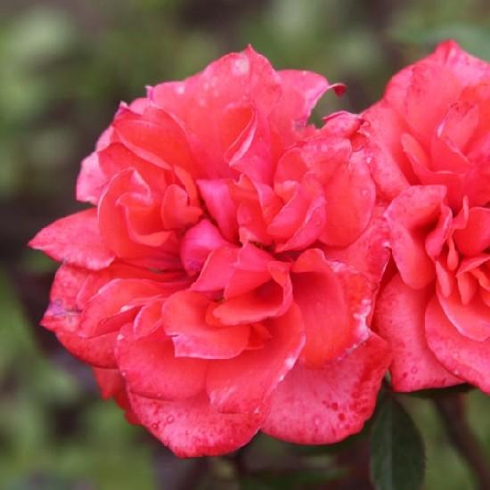 Nyírő József emléke - Miniatűr rózsa