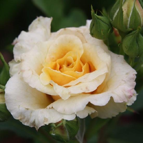 Nyitra - Floribunda rózsa
