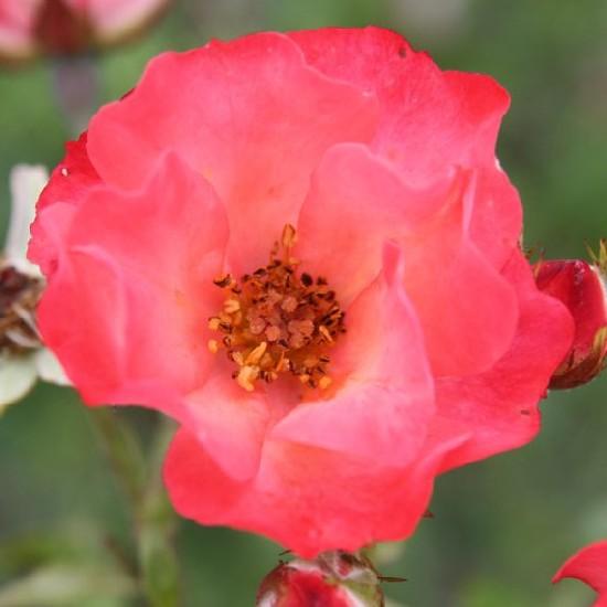 Ond - Polianta rózsa
