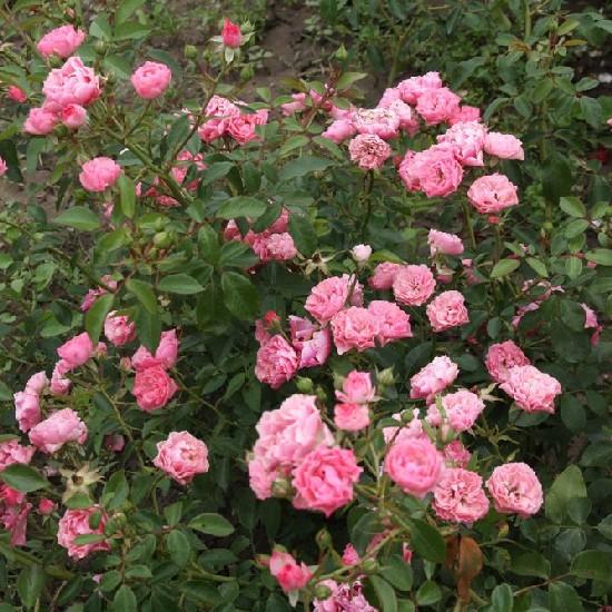 Örvényes - Floribunda rózsa
